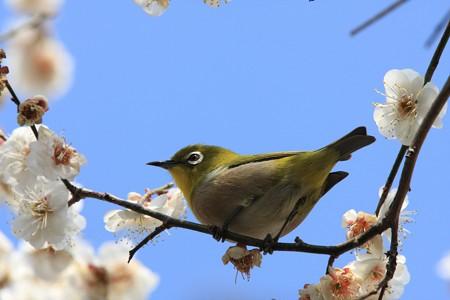 2013.03.04 和泉川 メジロ