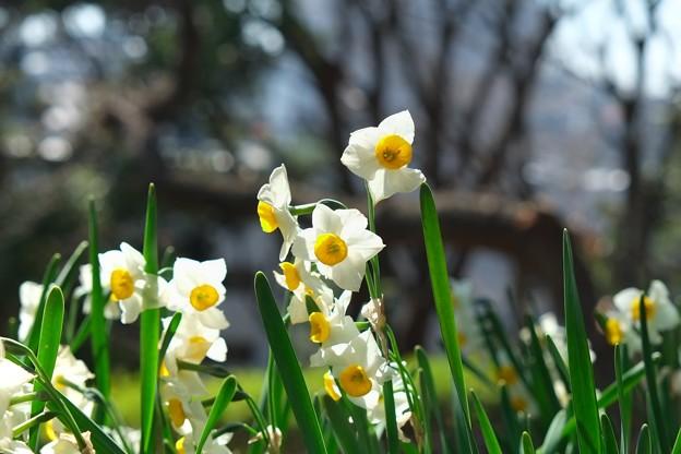 2013.03.06 山手公園 スイセン