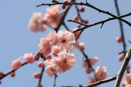 2013.03.07 和泉川 シダレウメ