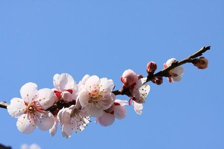 2013.03.09 和泉川 ウメ