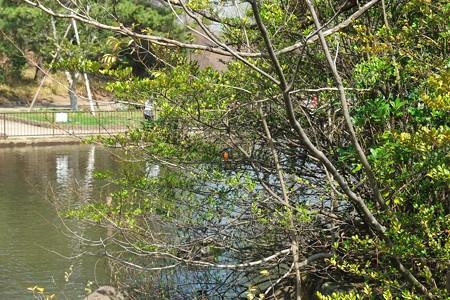 2013.03.19 大池公園 カワセミ