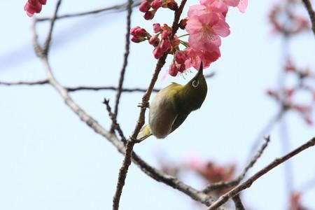 2013.03.20 和泉川 サクラへメジロ
