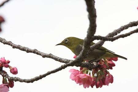 2013.03.20 和泉川 メジロ