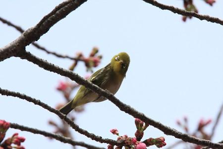 2013.03.20 和泉川 メジロとサクラ