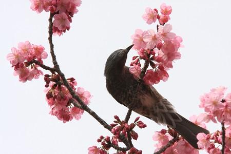2013.03.23 和泉川 サクラにヒヨドリ