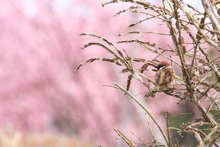 2013.03.23 和泉川 ニシキギにスズメ