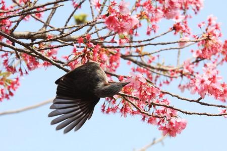 2013.04.01 和泉川 サクラにヒヨドリ