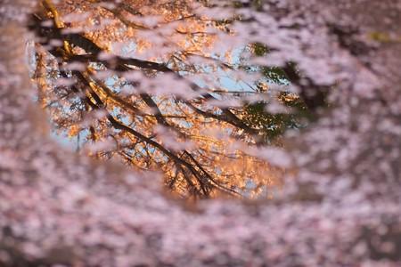 2013.04.03 追分市民の森 サクラ 散らす雨と夕日