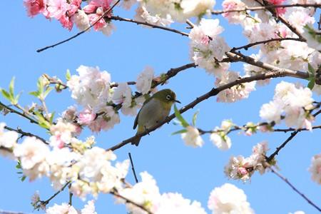 2013.04.04 和泉川 モモにメジロ