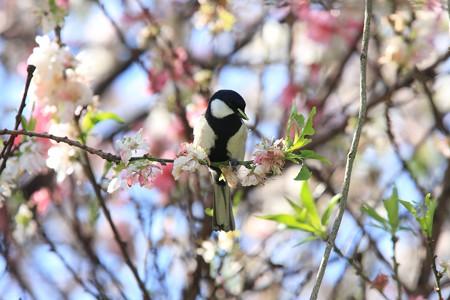 2013.04.07 和泉川 モモにシジュウカラ 狩