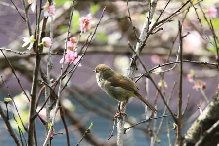 2013.04.10 和泉川 ウグイス