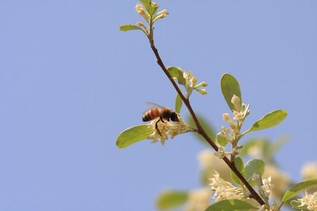 2013.04.15 和泉川 アキグミにミツバチ