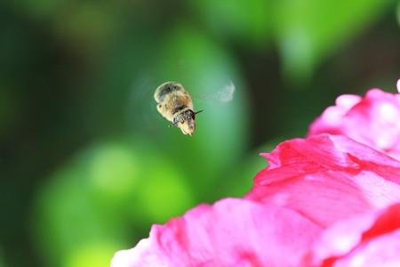 2013.04.23 和泉川 ボタンにミツバチ