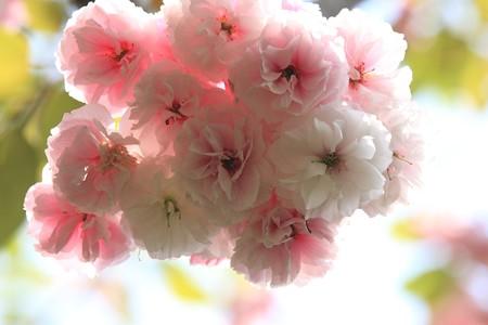 2013.04.23 和泉川 ヤエザクラ