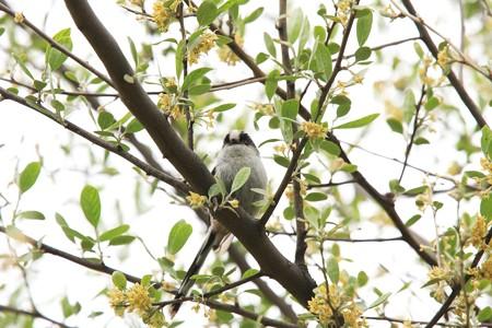2013.04.25 和泉川 アキグミにエナガ