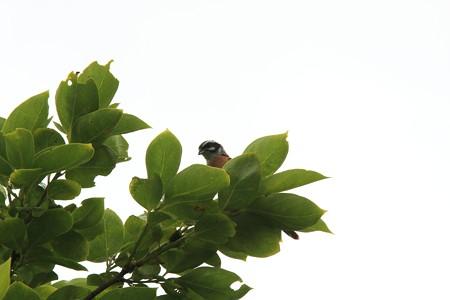 2013.05.29 追分市民の森 カキからホオジロ