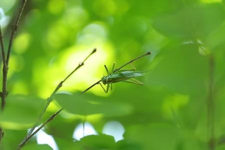 2013.07.09 大池公園 ハヤシノウマオイ