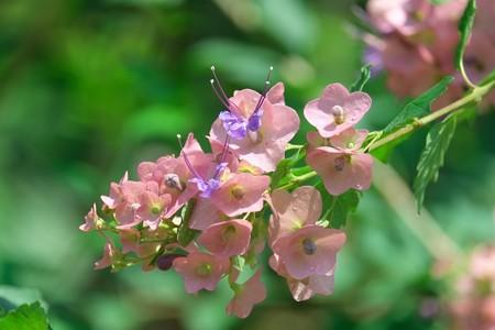 2013.07.10 大船植物園  ホルショルディア テッテンシス