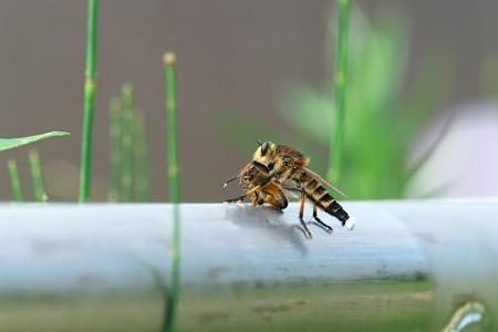 2013.07.14 和泉川 シオヤアブがミツバチ狩る