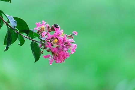 2013.07.28 和泉川 サルスベリにマメコガネとアオバハゴロモ