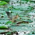照片: 2013.08.06 瓢湖 ヨシゴイにホンモロコ