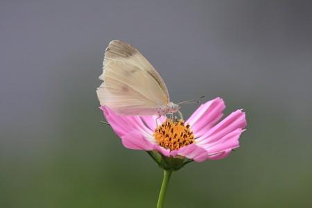 2013.08.22 和泉川 コスモスにモンシロチョウ