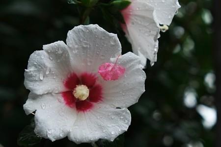 2013.08.25 選挙への道 ムクゲにサルスベリの花弁