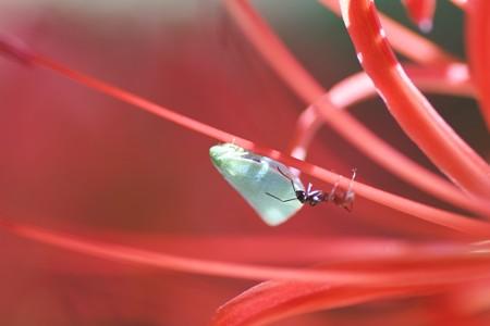 2013.09.27 和泉川 ヒガンバナでアオバハゴロモとアリ 挨拶