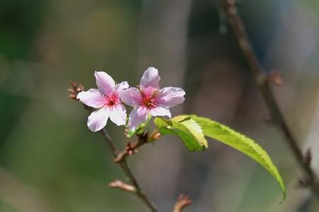 2013.09.27 和泉川 ヒマラヤ桜?