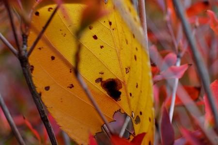 2013.11.10 追分市民の森 ドウダンツツジの枝に枯葉