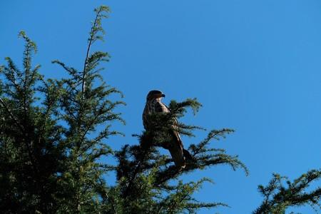 2013.11.21 山下公園 トビ