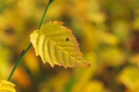 2013.12.04 追分市民の森 ツクバネウツギ 黄葉