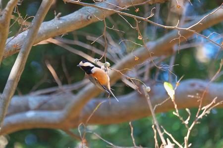 2013.12.15 追分市民の森 エゴノキにヤマガラ