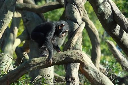2013.12.25 zoorasia チンパンジー