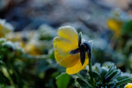 2013.12.31 和泉川 パンジー 花弁に蒲の綿毛
