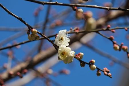 2014.01.20 和泉川 ウメ