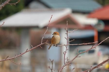 2014.01.20 和泉川 サクラにモズ 一息
