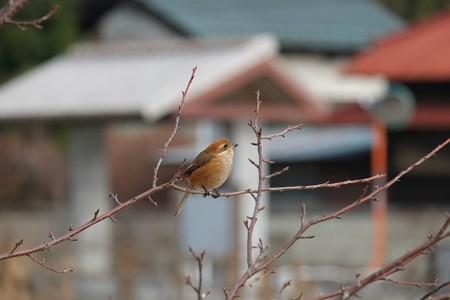 2014.01.20 和泉川 サクラにモズ 天を仰ぐ
