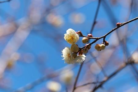 2014.01.23 和泉川 ウメ