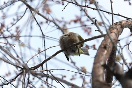 2014.01.25 和泉川 ウメでメジロ 「イナバウアー」