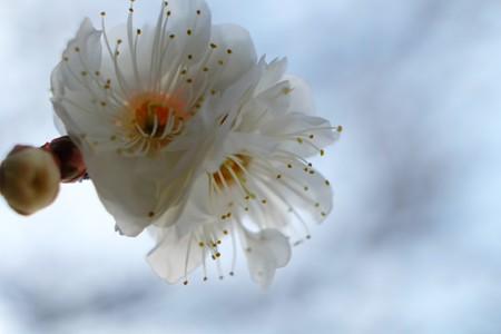 2014.01.26 和泉川 ウメの花