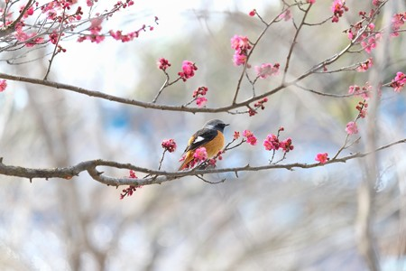 2014.02.12 和泉川 ウメにジョウビタキ