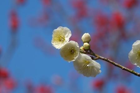 2014.02.24 大池公園 ウメ 紅白