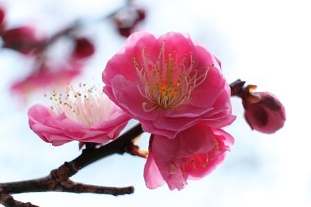 2014.02.24 大池公園 コウバイ