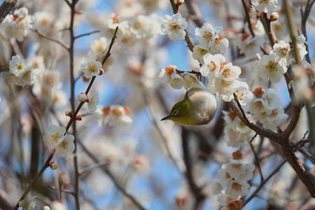 2014.03.09 和泉川 ウメにメジロ イナバウアー