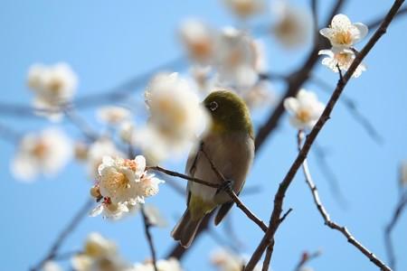 2014.03.09 和泉川 ウメにメジロ 蜜