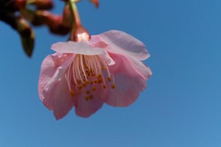 2014.03.09 和泉川 カワヅザクラ