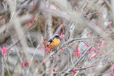 2014.03.15 和泉川 ウメにジョウビタキ
