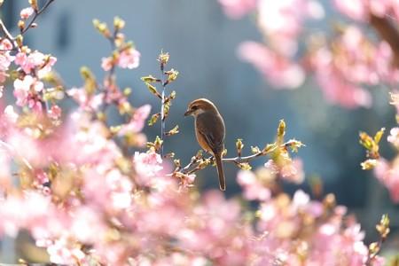 2014.03.17 和泉川 カワズザクラとモズ