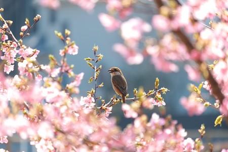 2014.03.17 和泉川 カワズザクラにモズ